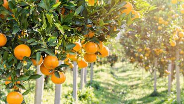 פרדס תפוזים. תמונה ראשית: Bigstock